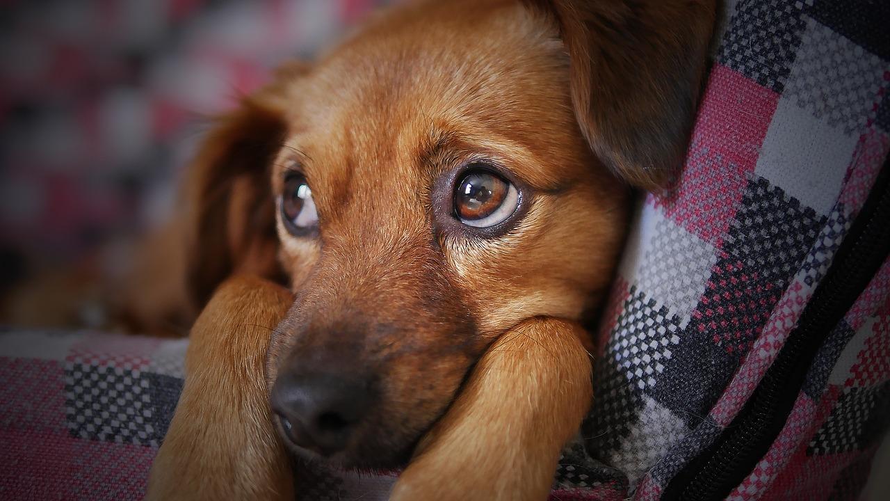 Os Cães Entendem o que Falamos?